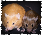 2 mice, one large and yelow, one normal and brown.